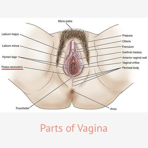 Parts of Woman's Vagina - Cosmetic Gynecology Specialist - Dr. Deepa Ganesh